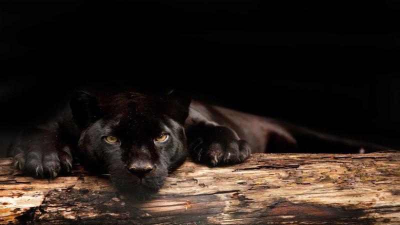 inaja, jaguar, panter, artis, zwart
