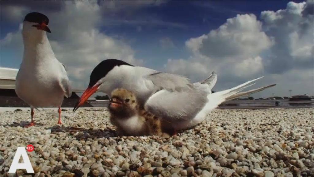 Meeuwenkuikens, vissende ijsvogels en vossen in film over wilde dieren in Amsterdam