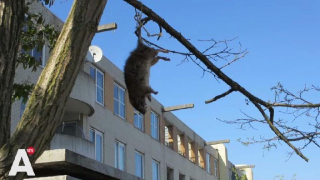Boze bewoners Bijlmerplein hangen dode ratten aan bomen