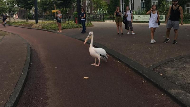 Ontsnapte pelikaan Artis gevangen