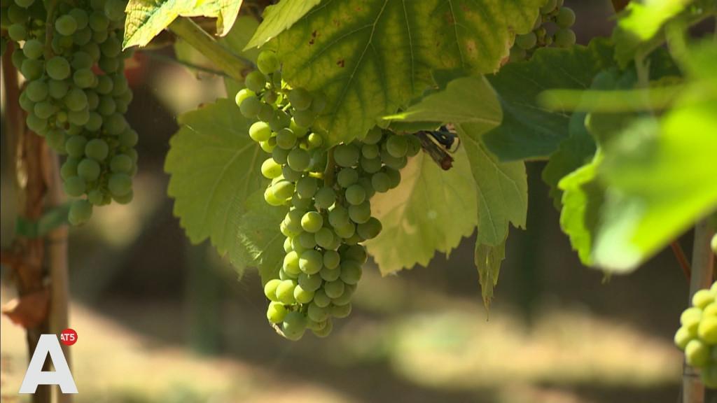 Amsterdamse wijn bijna te drinken: 'De trossen hangen er mooi bij!'